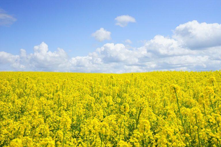 field of rapeseeds oilseed rape blutenmeer yellow 46164 - CIAO
